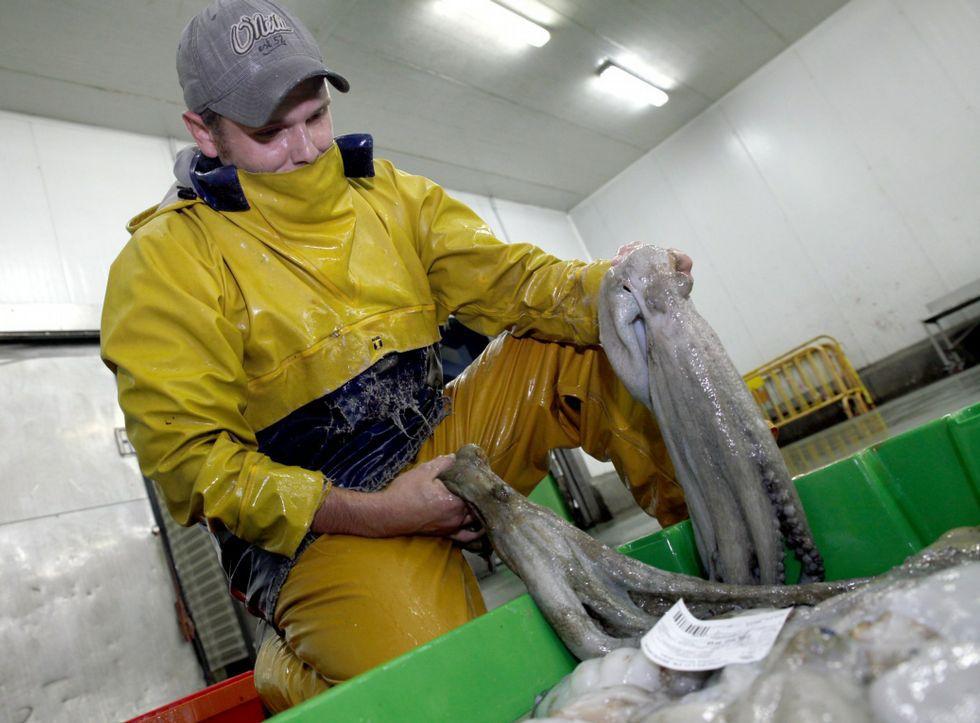 Preparando el pulpo gallego para la subasta. Foto: Marcos Creo - LA VOZ DE GALICIA