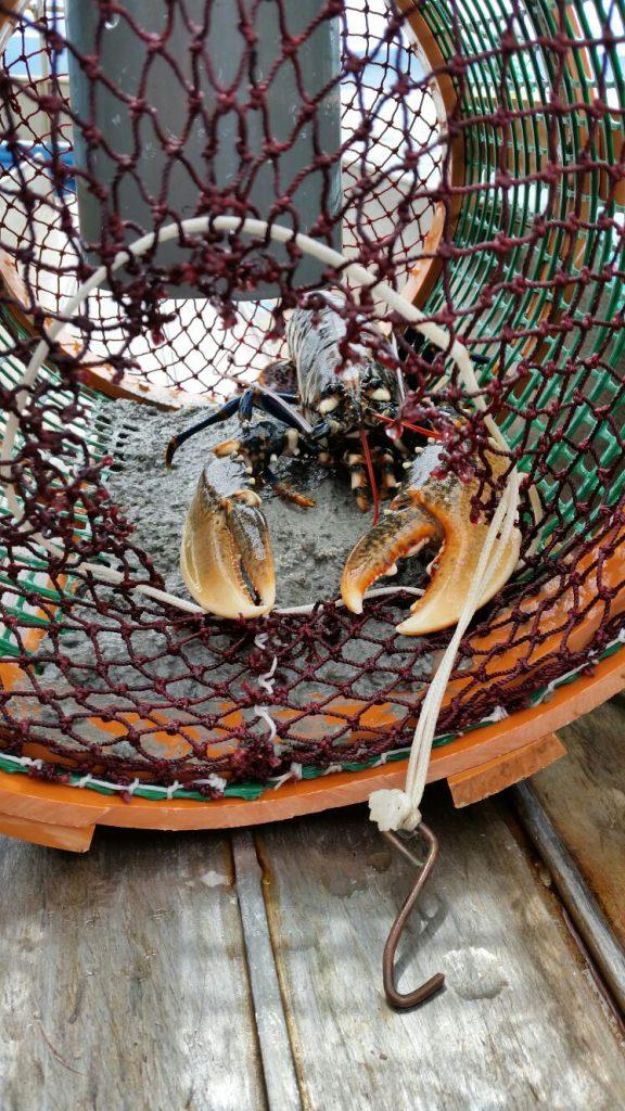 Repoblación de especies marinas: bogavante capturado en nasa de pulpo