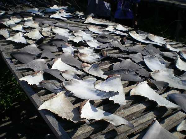 Finning: aletas de tiburon ya cortadas
