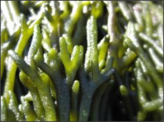 Alga Codium o Alga Oercebe fresca