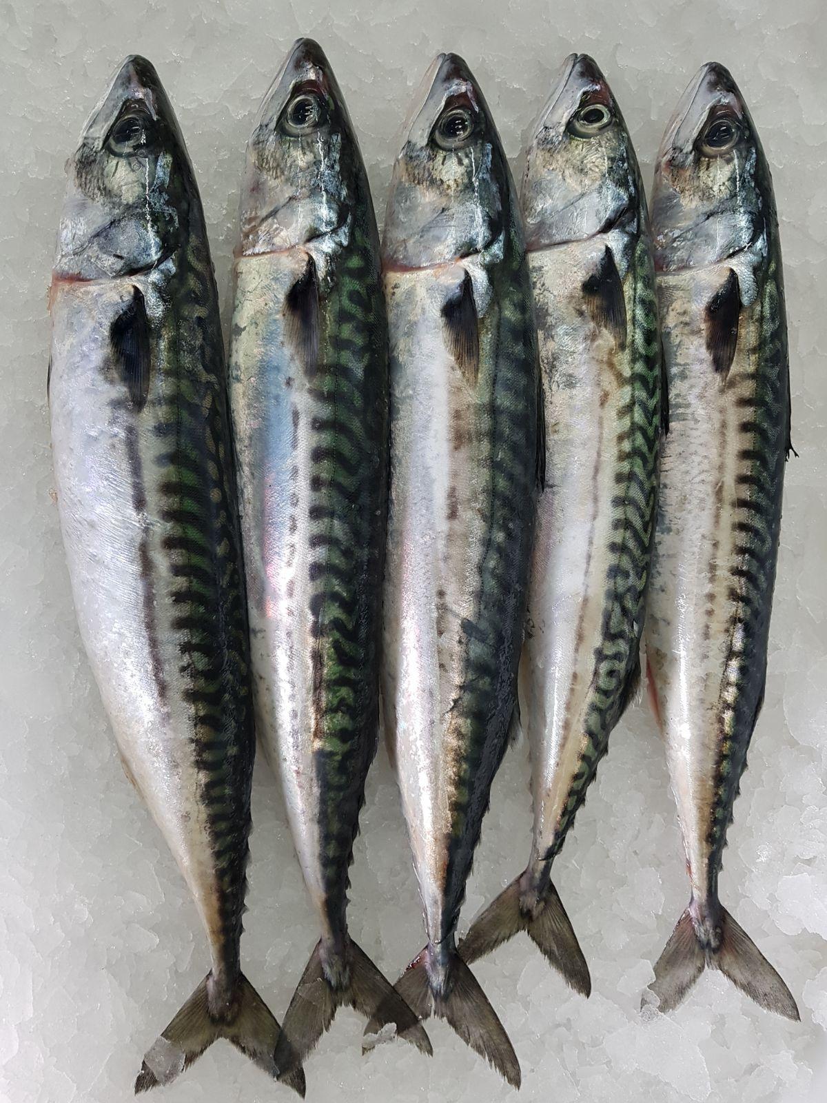 Caballa, delicioso pescado azul