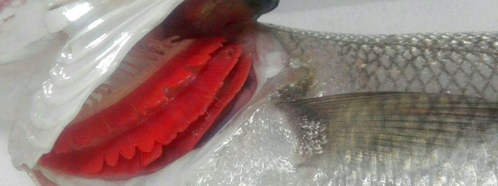 Lubina de Costa da Morte comercializada en nuestra pescadería online