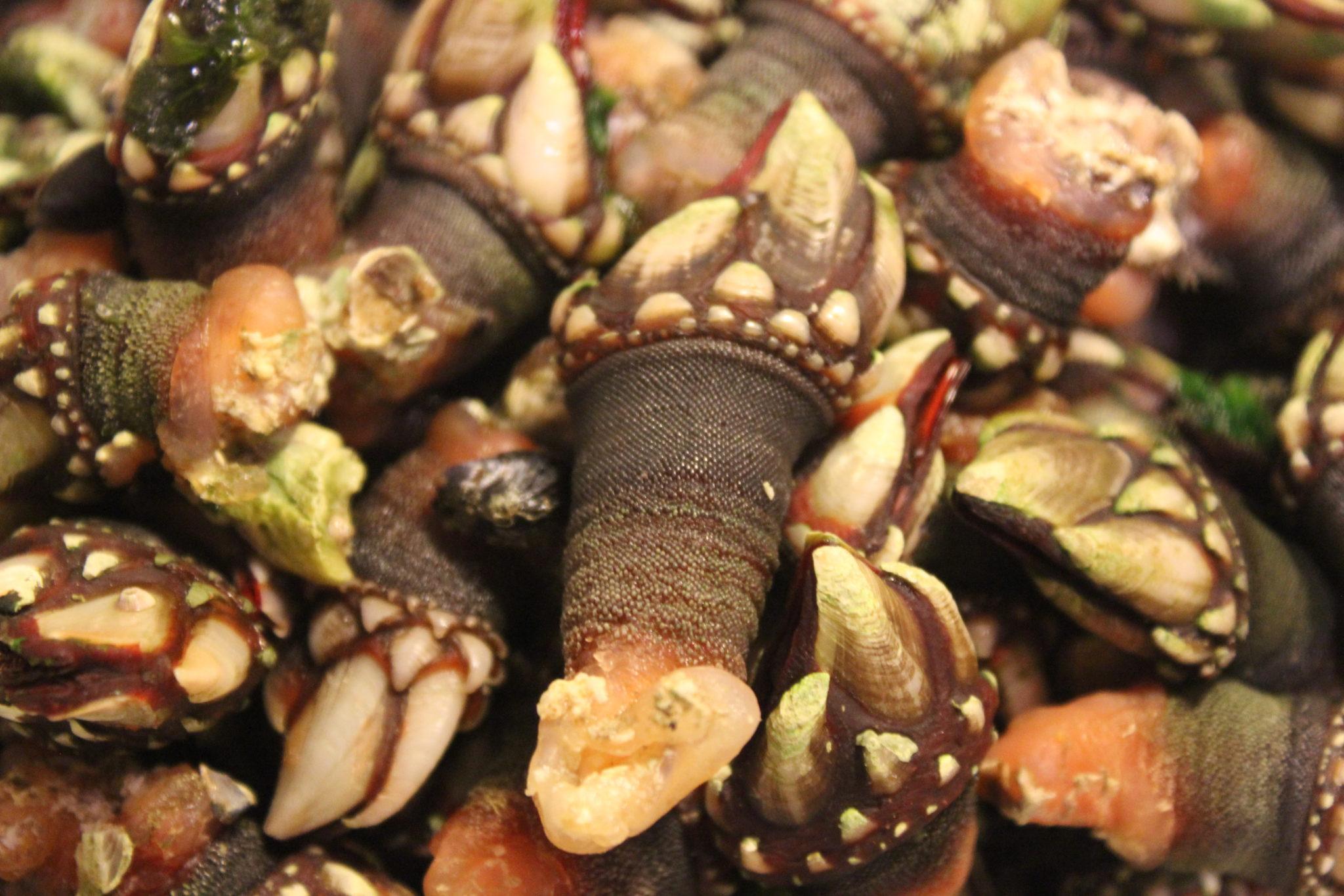 Marisco gallego: percebe de costa da morte, uno de los mariscos que más experimenta incremento de sus precios en las fiestas navideñas